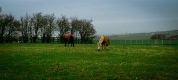 Hästar i en medow Royaltyfri Bild