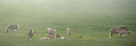 Hästar i en mist Royaltyfri Fotografi