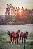 Hästar i ett fält, Le Mans, Frankrike fotografering för bildbyråer