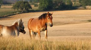 Hästar i ett fält i Sverige i sommaren royaltyfri bild