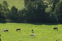 Hästar i ett fält i Sverige i sommaren arkivbild