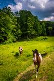 Hästar i ett lantgårdfält i den lantliga Potomac Skotska högländerna av västra VI royaltyfria foton