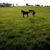 Hästar i fält Fotografering för Bildbyråer