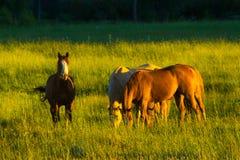 Hästar i fält i guld- ljus Royaltyfria Bilder