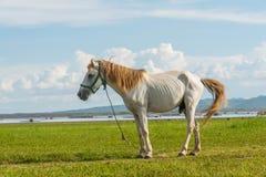 Hästar i fält på den Krasiao fördämningen Suphanburi landskap, Arkivfoton
