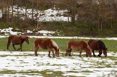 Hästar i fälten som täckas av snön royaltyfri foto