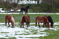 Hästar i fälten som täckas av snön royaltyfri fotografi