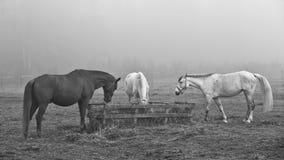 Hästar i fältet, i betar att äta hö royaltyfri bild