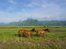 Hästar i fältet på vägen till den Pinatubo vulkan Lopp i Cl royaltyfri fotografi