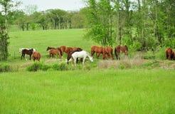 Hästar i gräsplan betar Royaltyfria Bilder