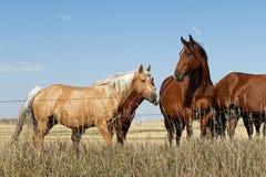 Hästar i Greatet Plains i North Dakota royaltyfria foton