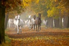 Hästar i höst Arkivbild