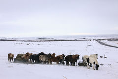 Hästar i Island, kall snö och vind Arkivfoton