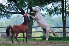 Hästar i kamp Royaltyfri Foto