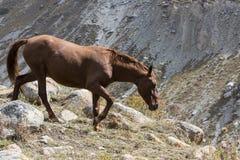 Hästar i Kirgizistanberglandskap på landskapet av Alun-bågen royaltyfria bilder