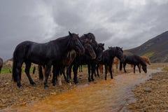 Hästar i lantliga Island Fotografering för Bildbyråer