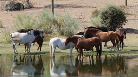 Hästar i Los Barruecos, Extremadura, Spanien arkivfilmer