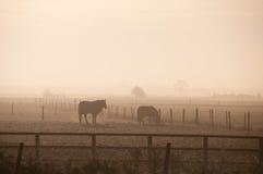 Hästar i misten Arkivbild