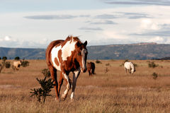 Hästar i nytt - mexico på prärie royaltyfri fotografi