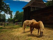 Hästar i paddock på lantgården på den historiska monteringen Vernon Estate i Virginia Royaltyfri Fotografi