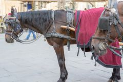 Hästar i piazzadellaen Signoria i Florence Royaltyfria Bilder
