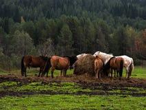 Hästar i reservation Arkivfoto