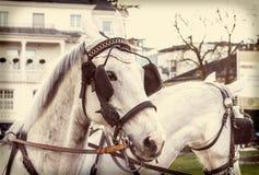 Hästar i sele på en stadsgata royaltyfri bild