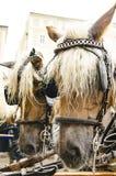 Hästar i selet royaltyfri bild