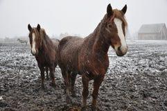 Hästar i snö blizzard_6 royaltyfri foto