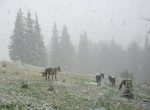 Hästar i snöig vinterskog Royaltyfri Fotografi