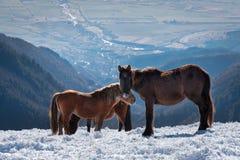 Hästar i snön Fotografering för Bildbyråer