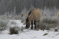 Hästar i snön (paard i de sneeuw) Arkivbild