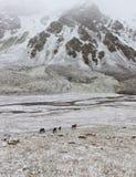 Hästar i snowen Arkivfoton