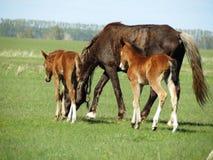 Hästar i stäppen Royaltyfri Foto