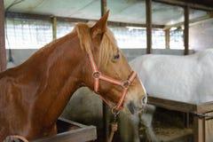 Hästar i stallen royaltyfria foton