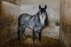 Hästar i stallen royaltyfri foto