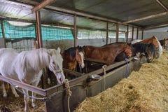 Hästar i stallen arkivfoton