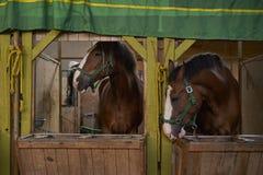 Hästar i stallen Fotografering för Bildbyråer