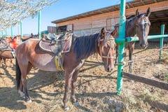 Hästar i stallen Arkivbild