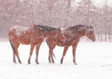 Hästar i tung snöstorm Royaltyfria Bilder