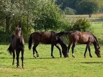 Hästar i Tyskland Royaltyfri Bild