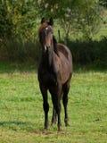 Hästar i Tyskland Royaltyfria Bilder