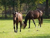 Hästar i Tyskland Arkivbilder