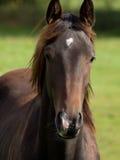 Hästar i Tyskland Fotografering för Bildbyråer