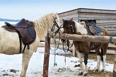 Hästar i vinter utomhus Arkivbild