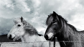 Hästar i vintern Arkivfoton