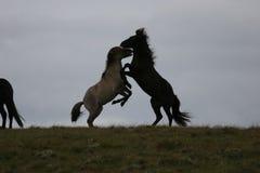 hästar iceland royaltyfri foto