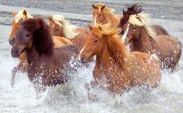 hästar iceland Arkivfoto