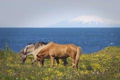 hästar iceland betar royaltyfri bild