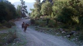 Hästar kör över kanjonbanorna stock video